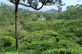 indien-kerala-teeplantage